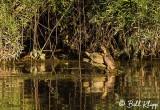 Turtles, California Delta  9
