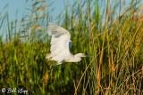 Snowy Egret  18