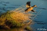 Mallard Duck 5