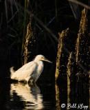 Snowy Egret 20