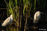 Snowy Egrets  21