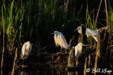 Snowy Egrets  22