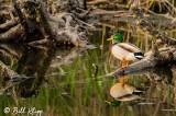 Male Northern Mallard Duck  15