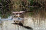Canada Geese  16