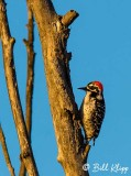 Nuttall's Woodpecker  1