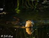 River Otter, Indian Slough   5