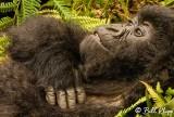 Mountain Gorilla,  Kwitonda Gorilla Group  4