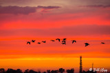 Canada Geese Sunset  1