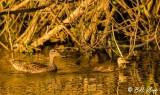 Mallard Ducks  10