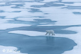 Polar Bear on the Ice,  Peel Sound  1