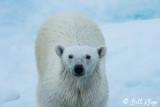 Polar Bear, Baffin Island  1