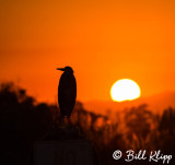 Great Blue Heron Sunset 4