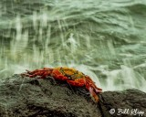 Sally Light Crab, Las Bachas  2