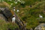Atlantic Puffins, Dyrholaey Cliffs  2