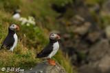 Atlantic Puffins, Dyrholaey Cliffs  3