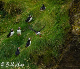 Atlantic Puffins, Westman Islands  1