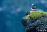 Atlantic Puffins, Westman Islands  3
