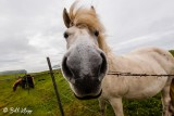 Icelandic Horse, Westman Islands  1