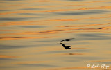 Fulmar, Sunset  1