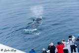 Humpback Whale, Sisimuit  2