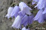 Bell Flower, (Campanula) Greenland  1