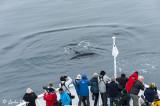 Humpback Whale, Sisimuit  3