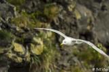 Gull, Dyrholaey Cliffs  1