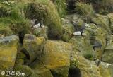 Atlantic Puffins, Dyrholaey Cliffs  6