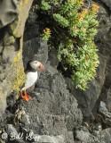 Atlantic Puffins, Dyrholaey Cliffs  7
