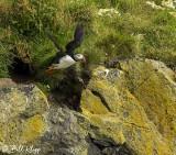 Atlantic Puffins, Dyrholaey Cliffs  8