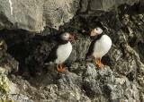 Atlantic Puffins, Dyrholaey Cliffs  9