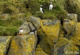 Atlantic Puffins, Dyrholaey Cliffs  10