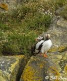 Atlantic Puffins, Dyrholaey Cliffs  11