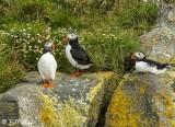 Atlantic Puffins, Dyrholaey Cliffs  12