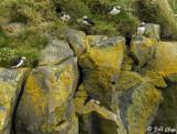 Atlantic Puffins, Dyrholaey Cliffs  13