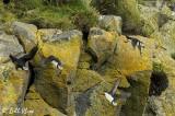Atlantic Puffins, Dyrholaey Cliffs  14