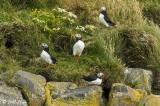 Atlantic Puffins, Dyrholaey Cliffs  15