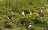 Atlantic Puffins, Dyrholaey Cliffs  16