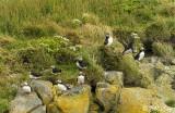 Atlantic Puffins, Dyrholaey Cliffs  20