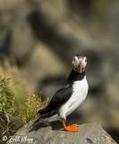 Atlantic Puffins, Dyrholaey Cliffs  23