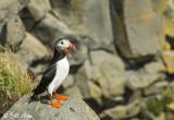 Atlantic Puffins, Dyrholaey Cliffs  25