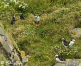 Atlantic Puffins, Dyrholaey Cliffs  30