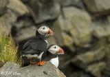 Atlantic Puffins, Dyrholaey Cliffs  32