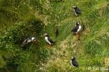 Atlantic Puffins, Westman Islands  7