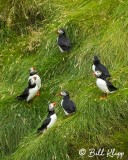Atlantic Puffins, Westman Islands  6