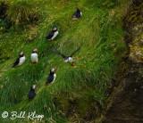 Atlantic Puffins, Westman Islands  5