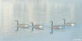 Canada Geese in Tule Fog  2