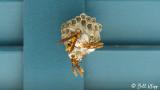 Paper Wasps Building Nest  1