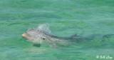 Bottlenose Dolphin, Jewfish Basin  1