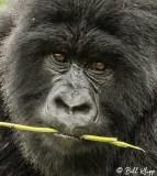 Mountain Gorillas, Hira Group  11